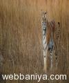 tiger-tours14541.jpg
